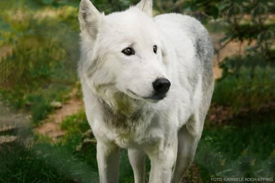 Wolf als Krafttier im Schamanismus