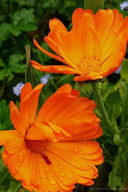 Ringelblume als Heilpflanze